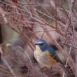幸せの青い鳥(ルリビタキ♂)