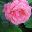 薔薇 Rosa 愛 美