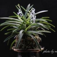 富貴蘭「高隈」の花