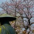 『大磯のサクラ』 善福寺