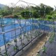 トマトの雨除け準備、キュウリの支柱立て