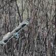 今日の鳥 オオワシ コミミズク は日没寸前に登場証拠写真です。