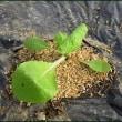 白菜の苗が、台風18号の被害を受けてしまったので・・・