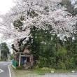 『桜が満開になりました』