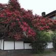 ★枇杷の湯の樹齢300年以上の百日紅が見事だった 2017