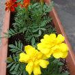 庭の花々  5月中~下旬の花・木