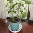 ムクゲの枝を鉢に植えました