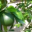 八朔の果実