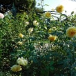 黄バラも輝く