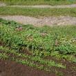 秋の野菜植え