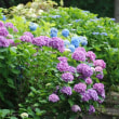 紫陽花:八幡宮