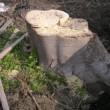 木の根掘り