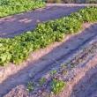 玉レタスが収穫できるようになりました!