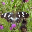 高ボッチ高原・鉢伏山で最近見る事の出来る昆虫 メスグロヒョウモン(雌黒豹紋)メス