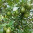 有機グリーンレモンやライムの受付開始します♪