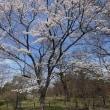 24日、京都府立植物園からの桜だより
