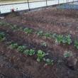 今年も始まりました『かがやき菜園』