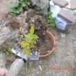 サクランボ(?)らしき木を移植