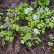 堰堤敷設予定地に咲くエンゴサク / 「安全」優先、「生物多様性」を無視した行政の愚行(2)
