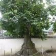 四国、貞光駅から徒歩15分の旧永井家庄屋屋敷の柿