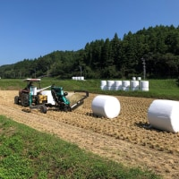 牛の飼料(藁の保存食)