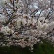 やっと桜!