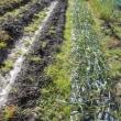 畝間の草抜き