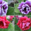グロキシニアの花は