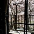 桜 2018 その3(お花見)