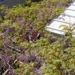 モッコウバラが咲き始め、藤棚の上の方で藤も満開になって居ました。