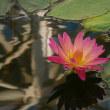 蓮(はす)の花