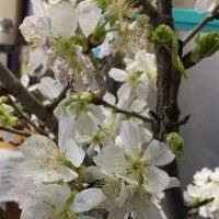 かんべ茶屋は桜が満開!