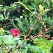 ミニ薔薇の葉が
