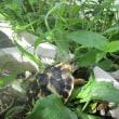 ニシヘルマンリクガメの孫亀とツユクサ