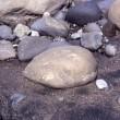 1998年のニュージーランド研究旅行 その27 化石の転石