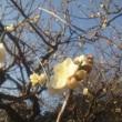 シャンソン歌手リリ・レイLILI LEY  二月の新宿御苑 梅と桜  日本酒