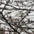 3/22 Thu さくら日記
