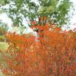 ●金沢メタセコイアの並木道  紅葉
