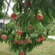 きょうの桃
