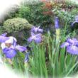 楽しい園芸 花菖蒲