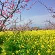 < 生涯の絶景見つけた!!山梨県桃源郷    桃と菜の花の楽園(^o^)/ 御坂農園グレープハウス>