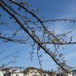 東京で 桜開花