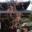鎌倉桜便り 本覚寺