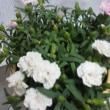 母の日に貰った花の命の短さを実感・・