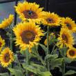 ★不思議なひまわり・キカラスウリの花など 2018