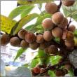鈴生りの豆柿