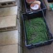 タマネギのセル苗の定植を何とか終えました