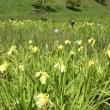 花菖蒲・・・鹿児島の風景
