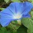 朝顔(あさがお)という花
