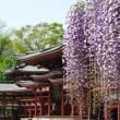 京の1枚 336 平等院 鳳凰堂と藤